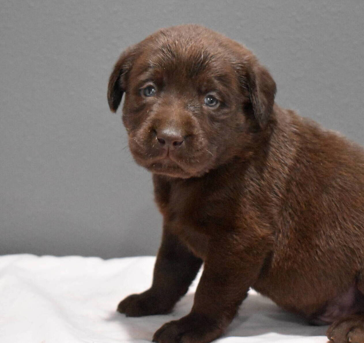 Litter 7-Chocolate labrador puppies12.JPG