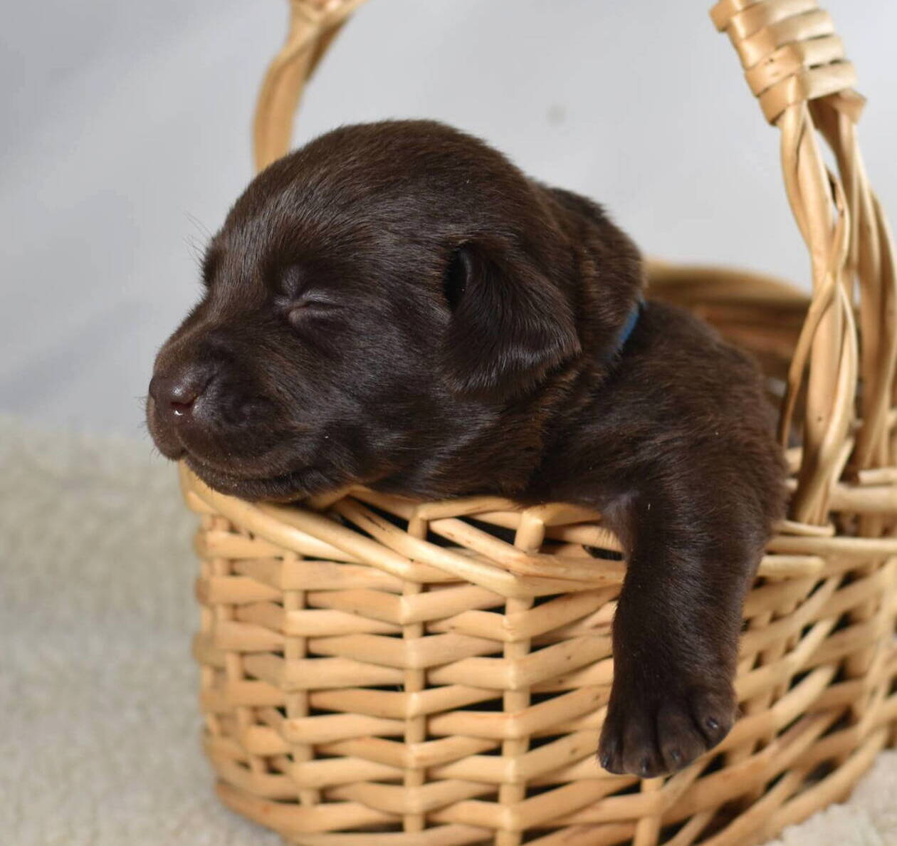 Litter 7-Chocolate labrador puppies13.JPG