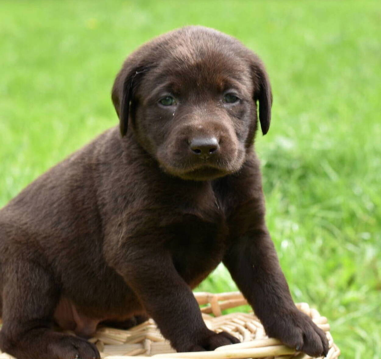 Litter 7-Chocolate labrador puppies14.JPG