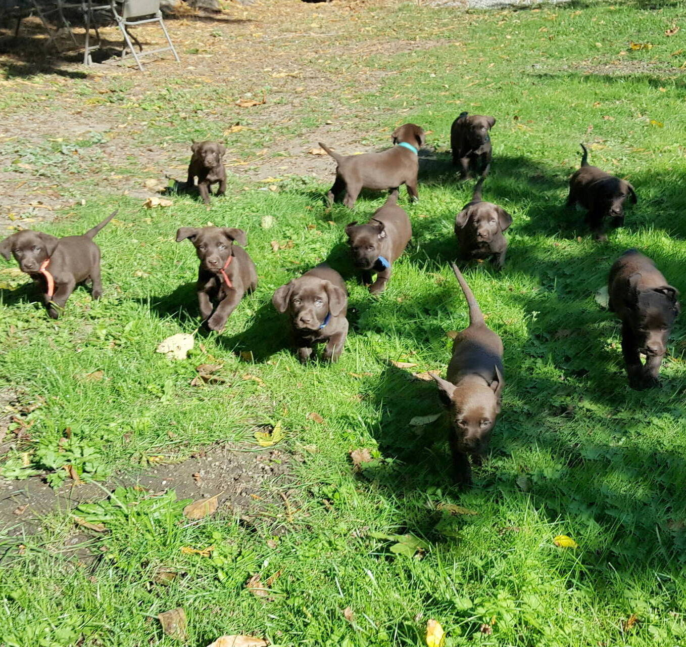 Litter 7-Chocolate labrador puppies15.jpg