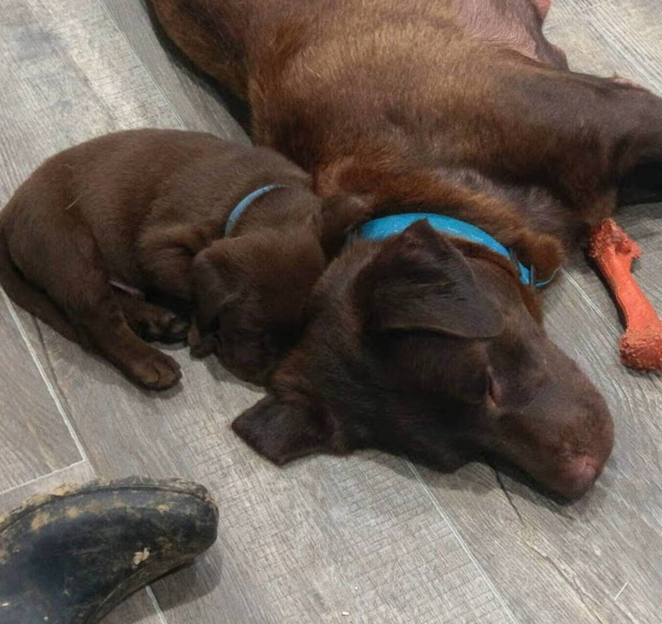 Litter 7-Chocolate labrador puppies16.jpg