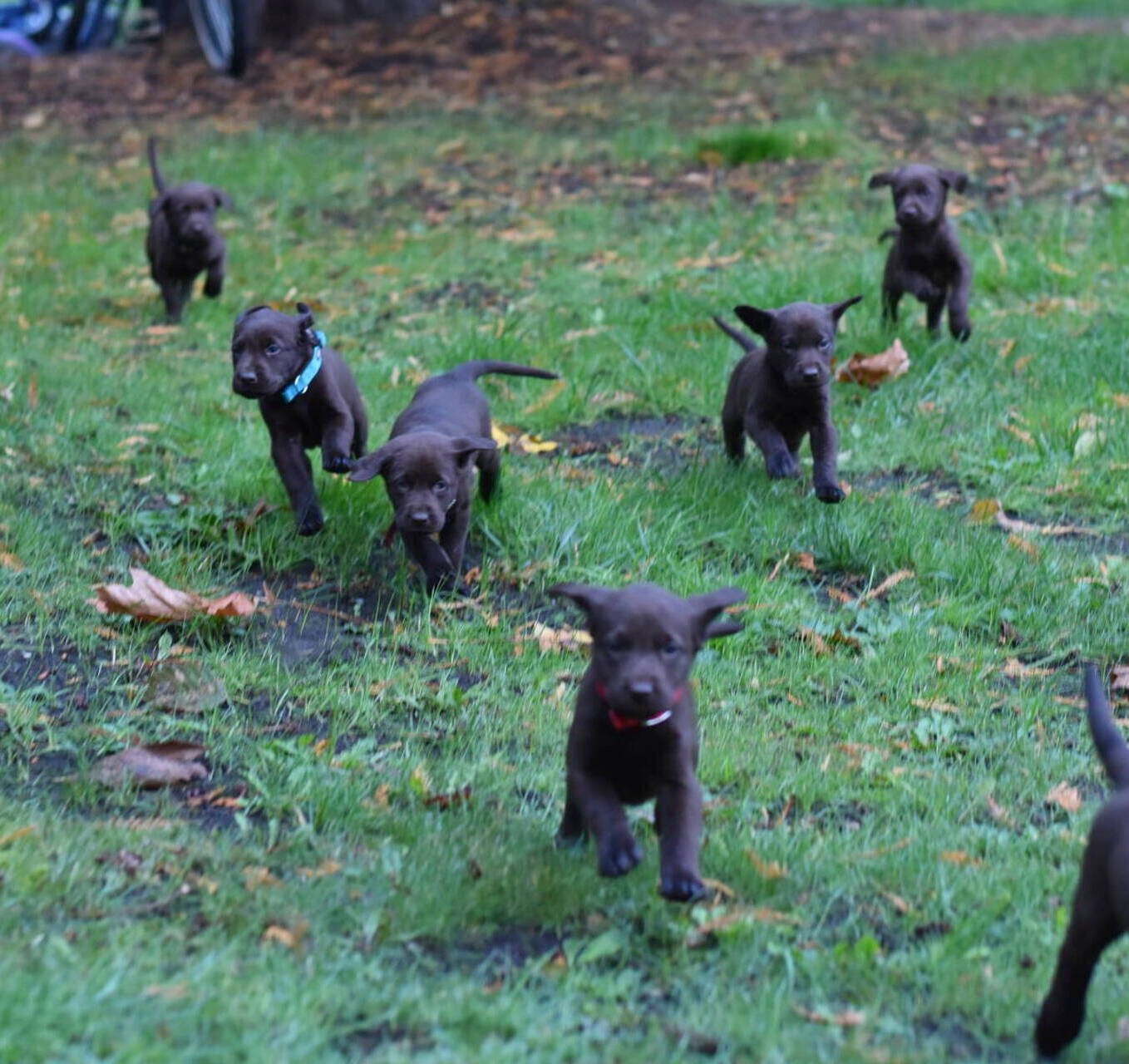 Litter 7-Chocolate labrador puppies19.JPG