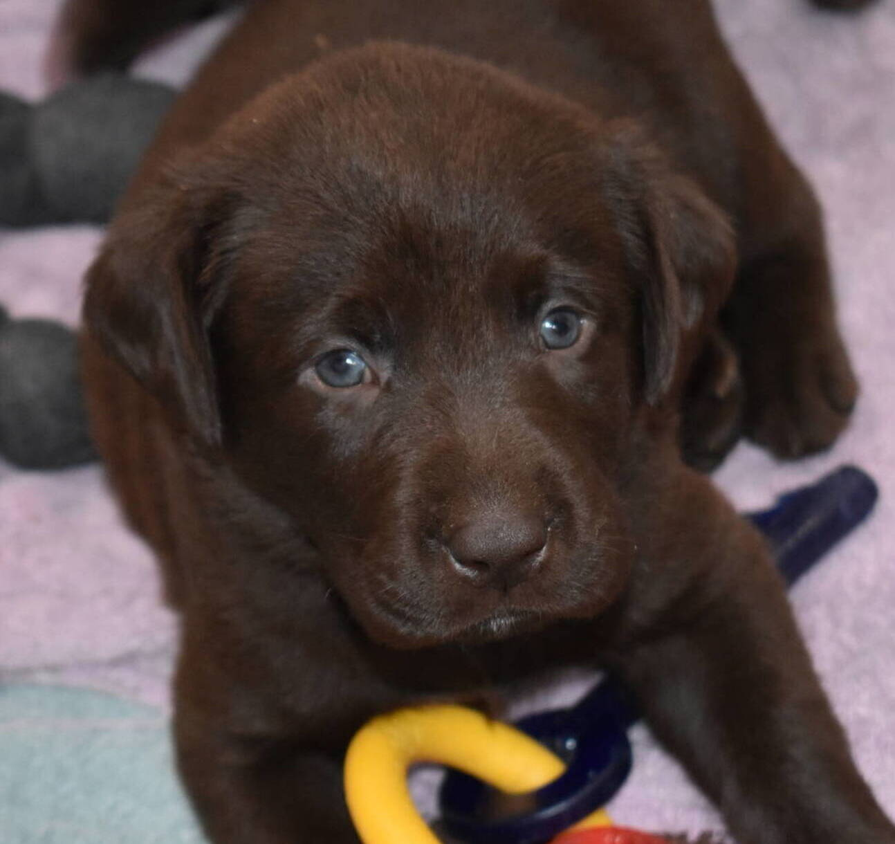 Litter 7-Chocolate labrador puppies2.JPG