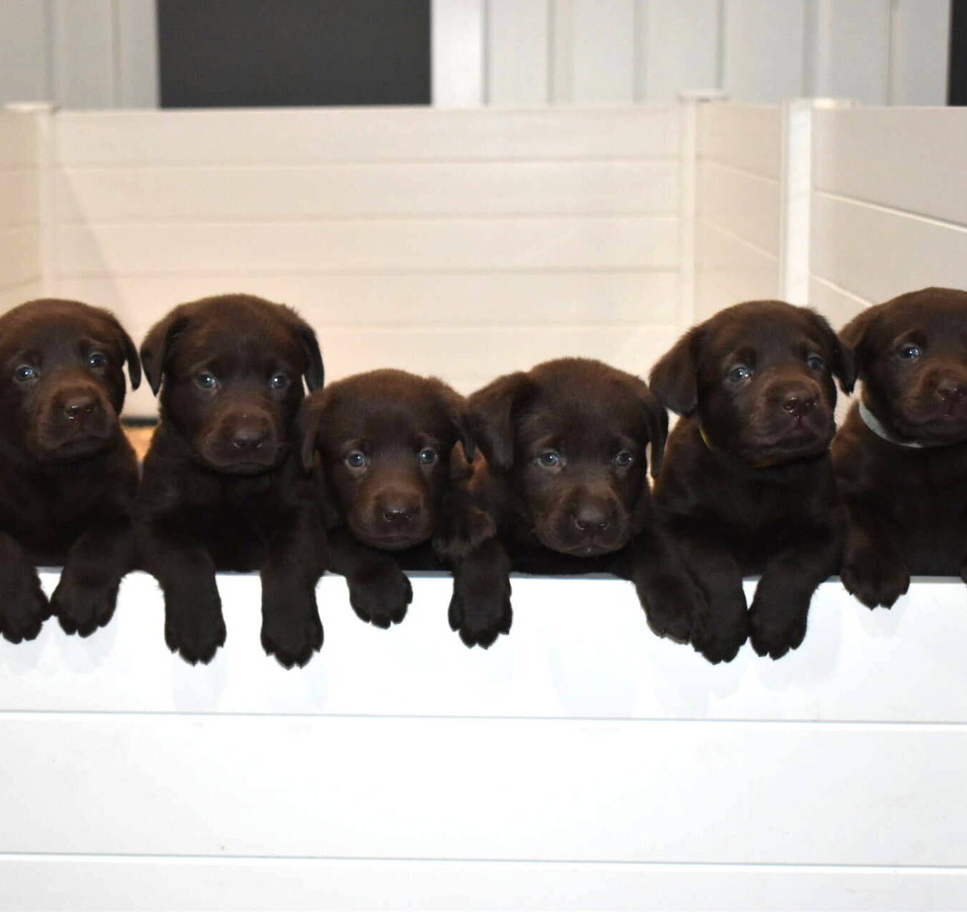 Litter 7-Chocolate labrador puppies3.JPG