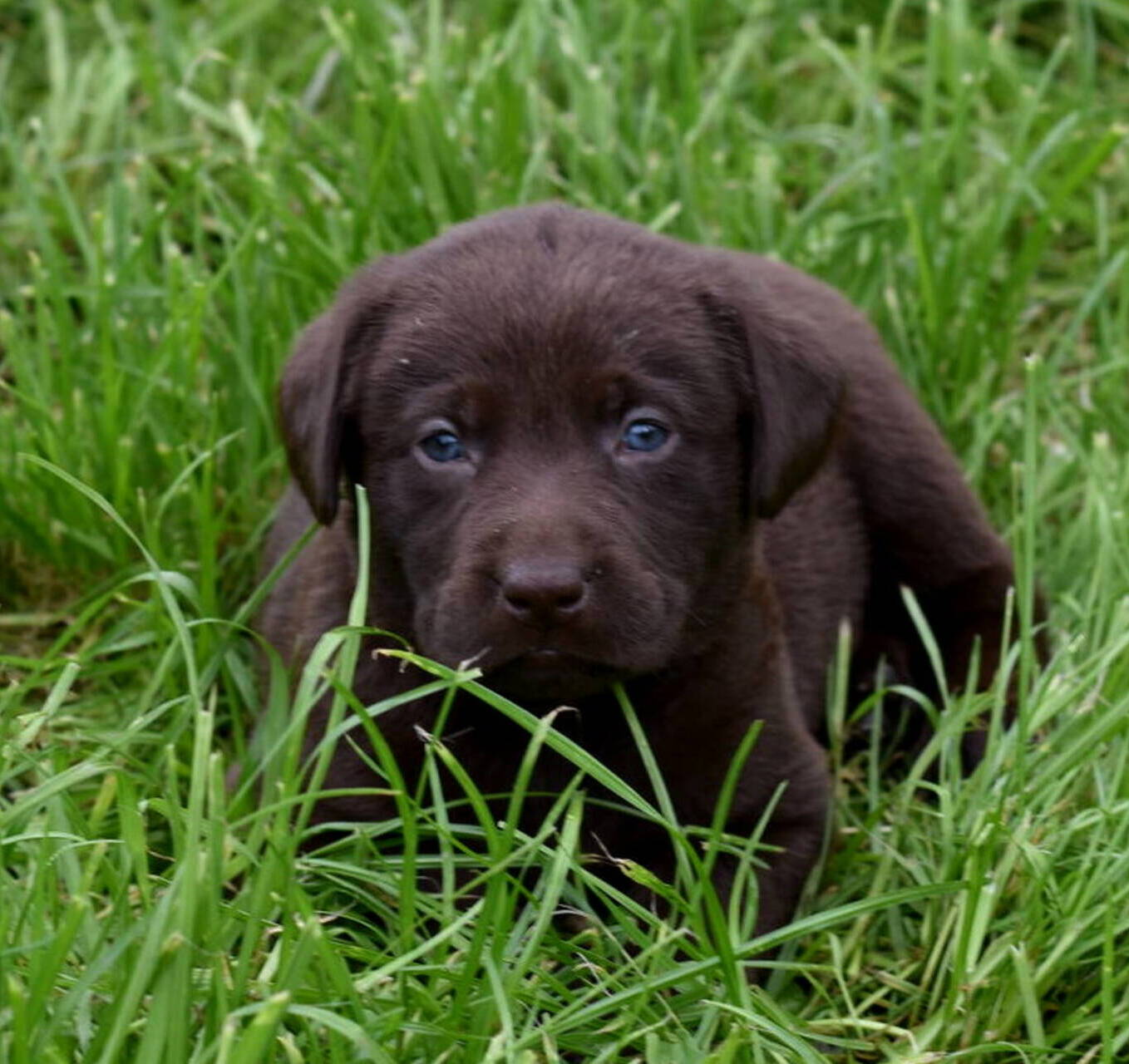 Litter 7-Chocolate labrador puppies4.JPG