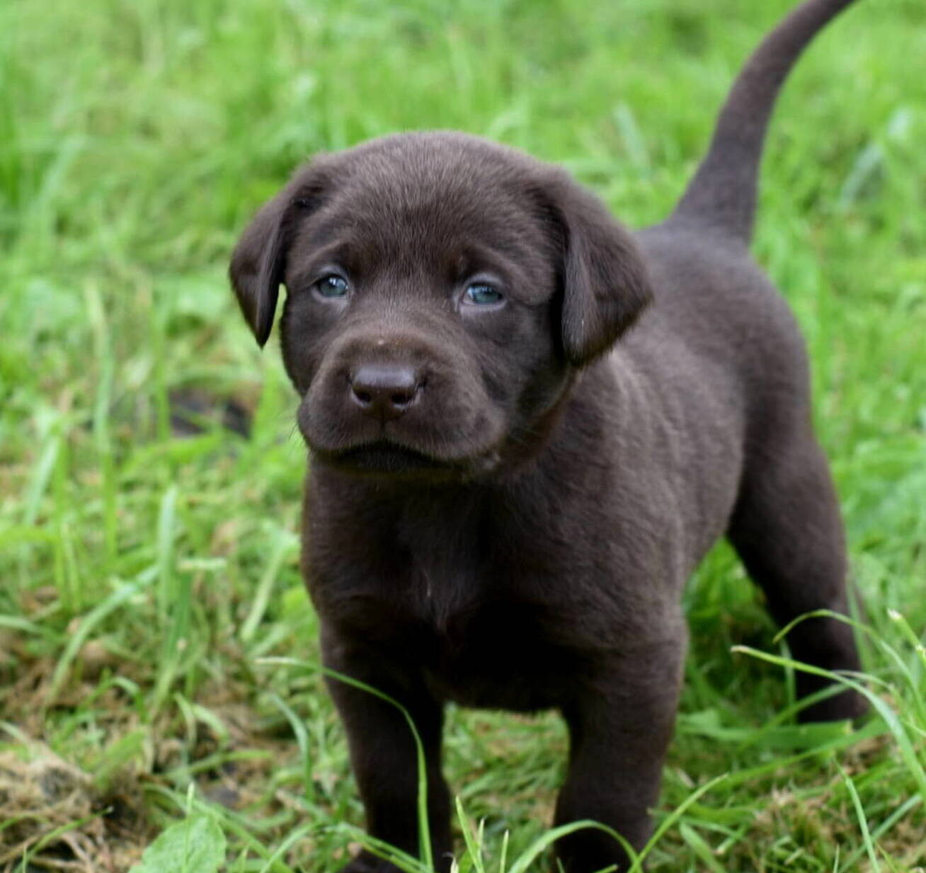 Litter 7-Chocolate labrador puppies5.JPG