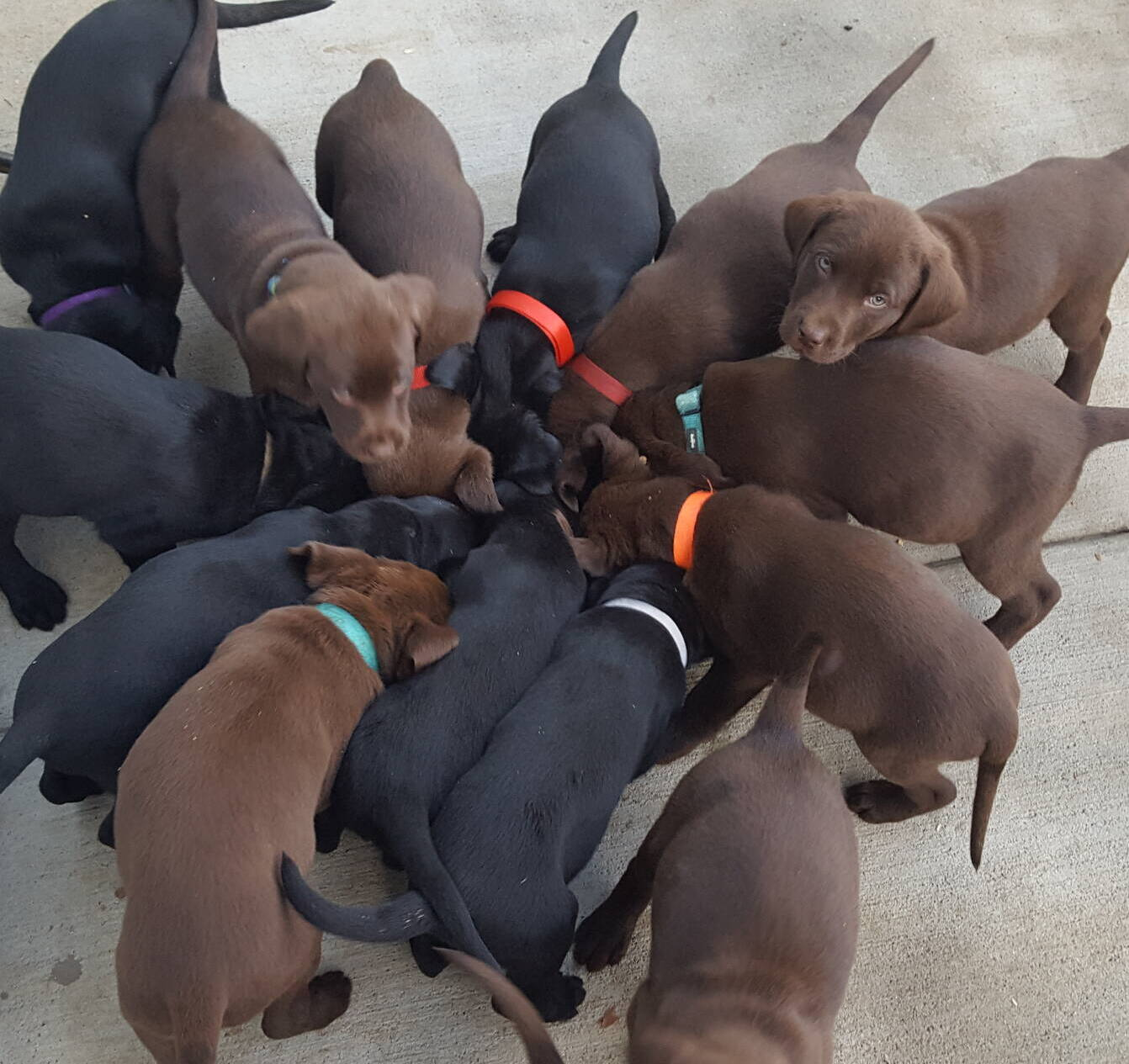 Litter 7-Chocolate labrador puppies6.jpg