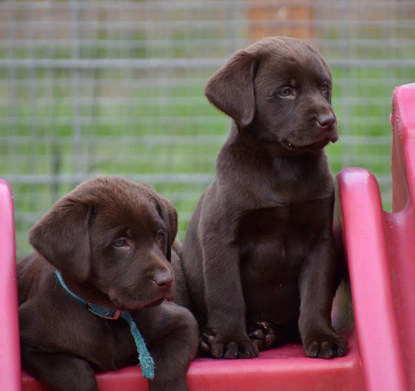 Litter 7-Chocolate labrador puppies7.JPG