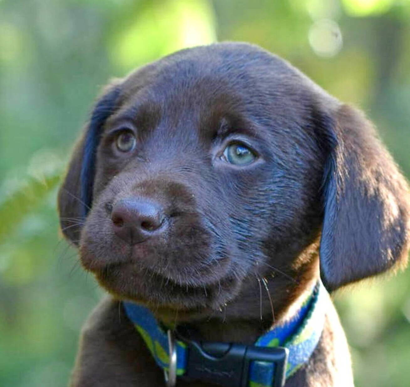Litter 7-Chocolate labrador puppies8.JPG