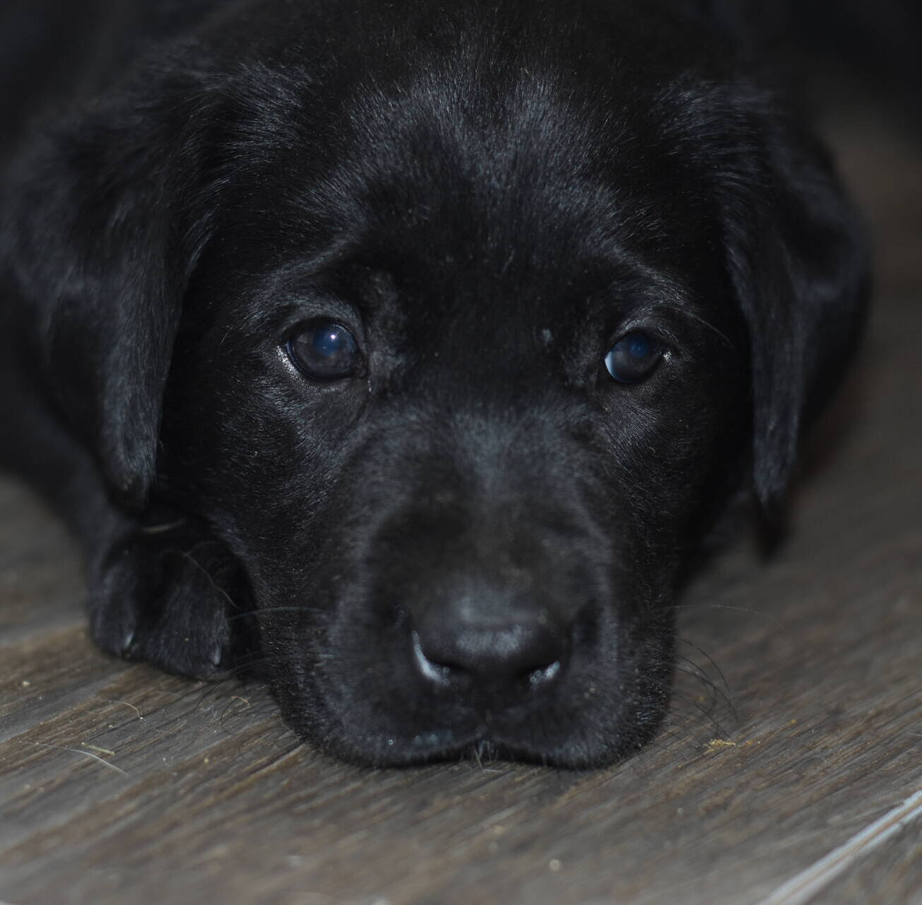 Litter 8-Black Labrador puppies10.JPG