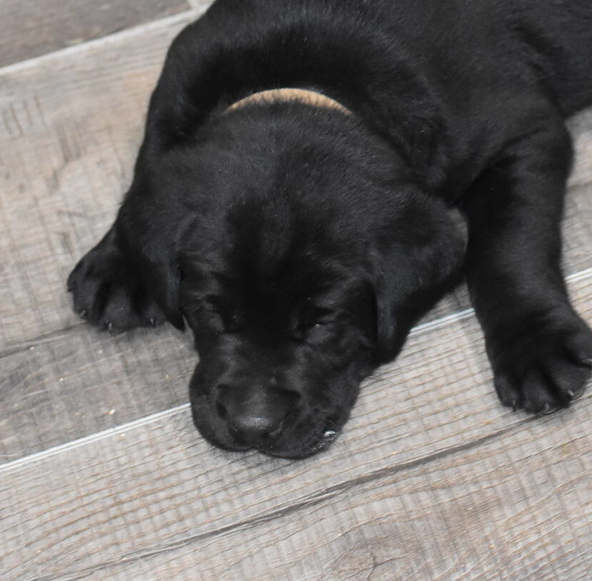 Litter 8-Black Labrador puppies11.JPG
