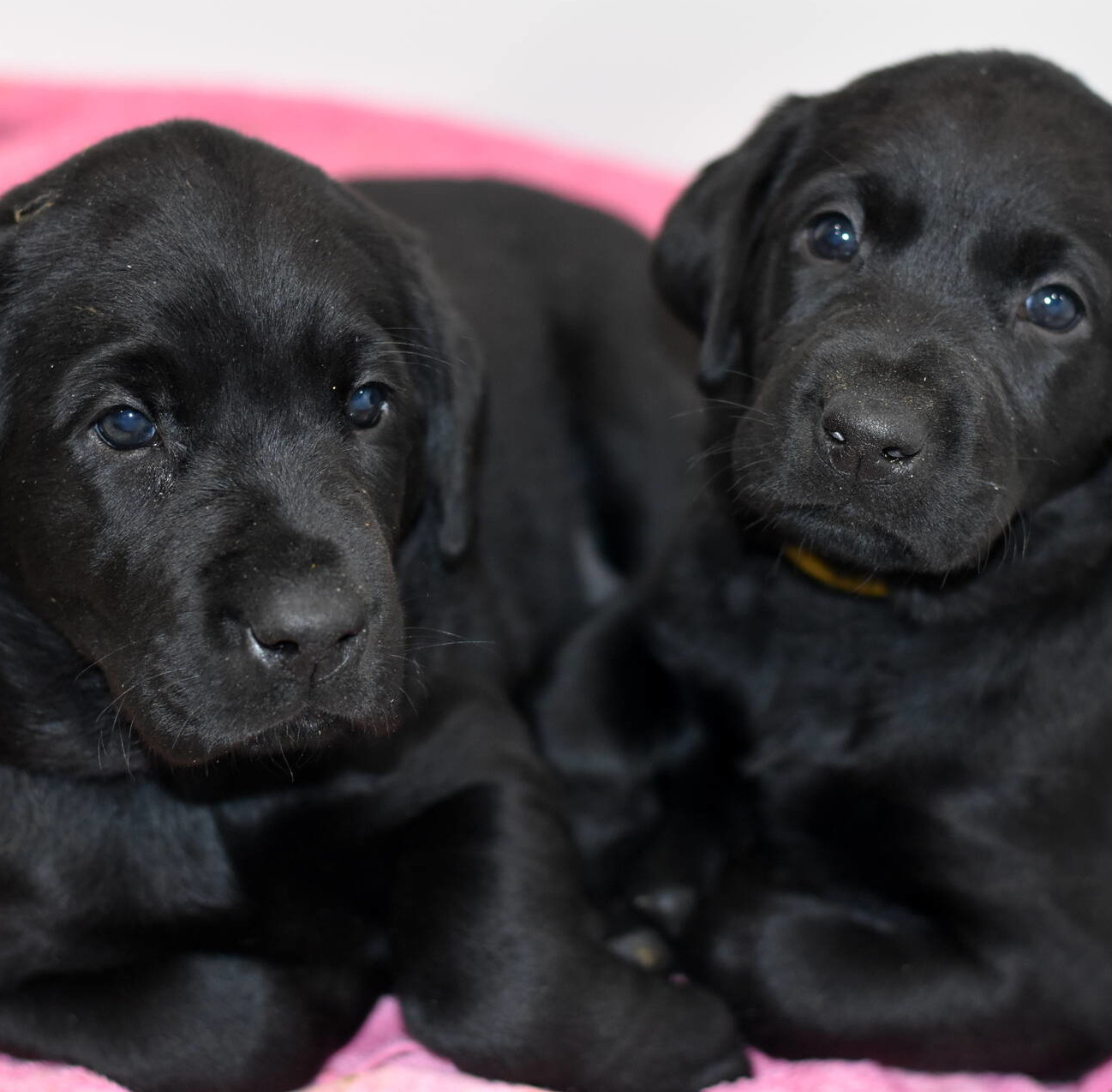 Litter 8-Black Labrador puppies13.JPG