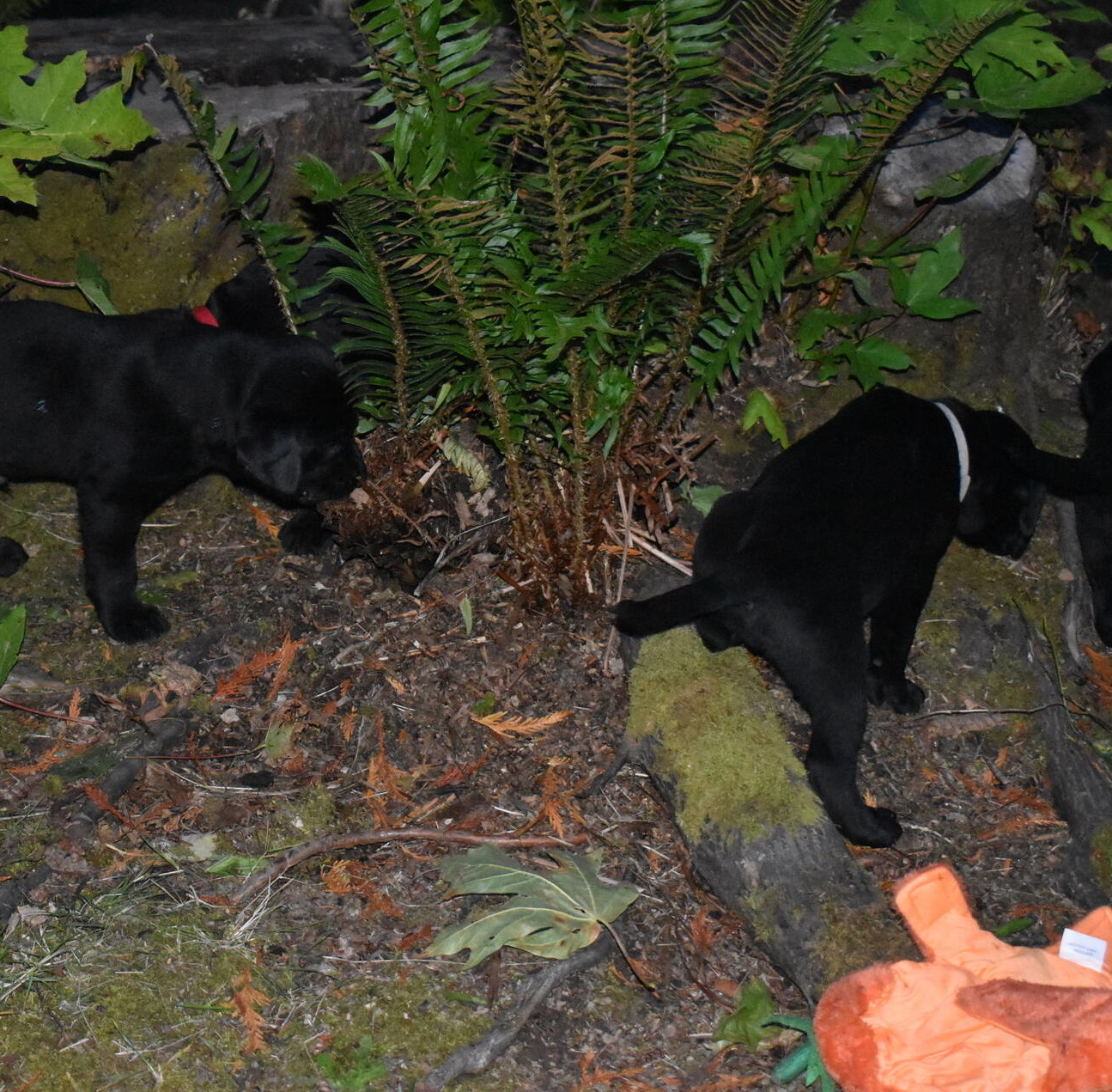 Litter 8-Black Labrador puppies15.JPG
