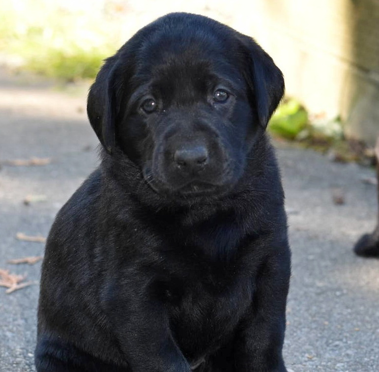 Litter 8-Black Labrador puppies17.JPG