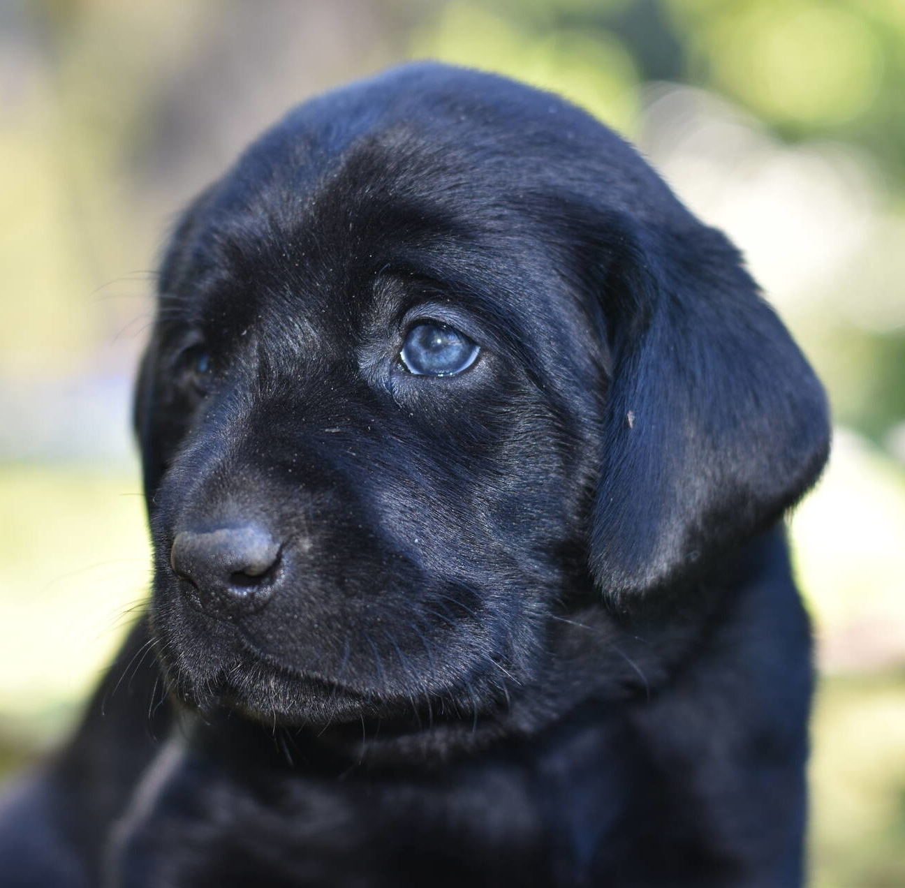 Litter 8-Black Labrador puppies18.JPG