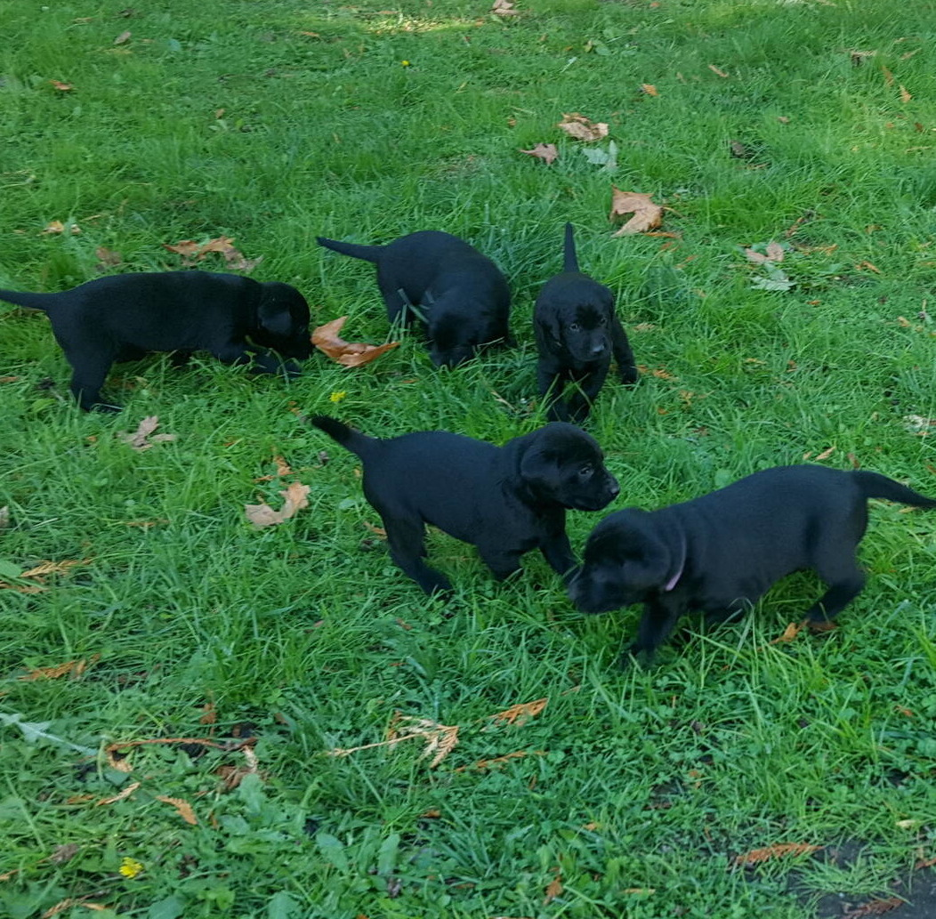 Litter 8-Black Labrador puppies19.jpg