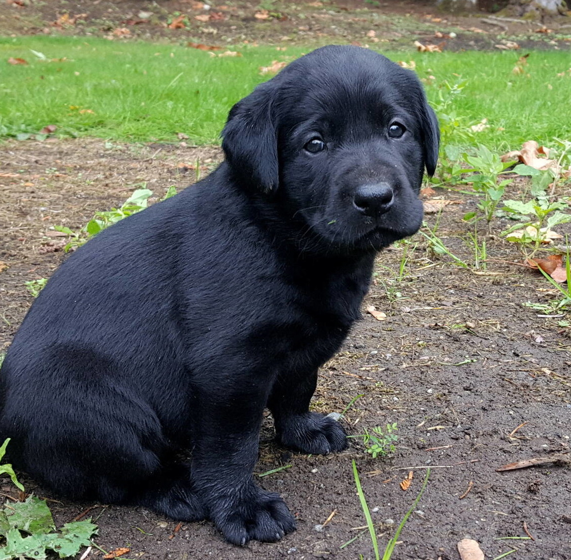 Litter 8-Black Labrador puppies21.jpg