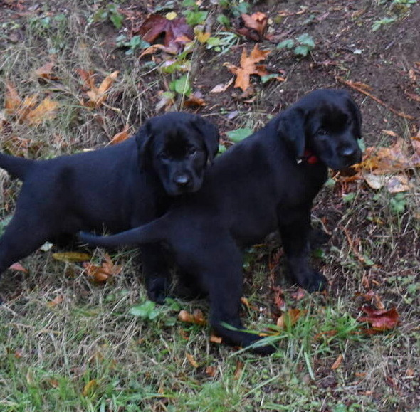 Litter 8-Black Labrador puppies4.JPG