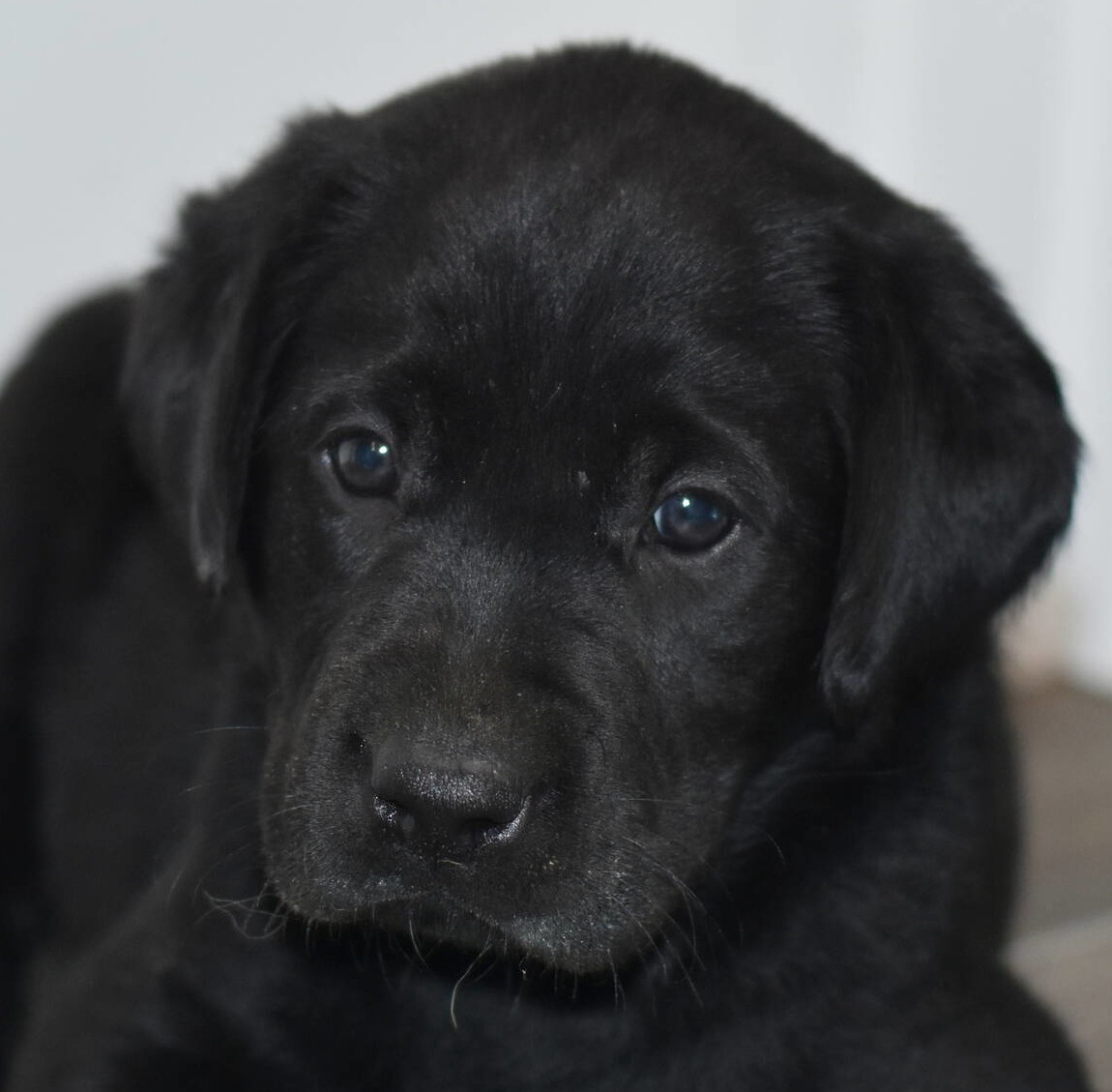 Litter 8-Black Labrador puppies7.JPG