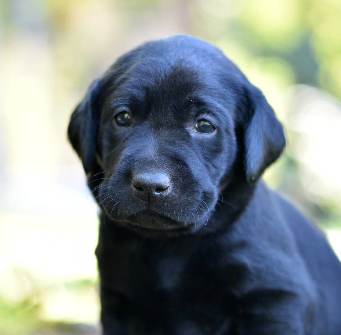 Litter 8-Black Labrador puppies8.JPG