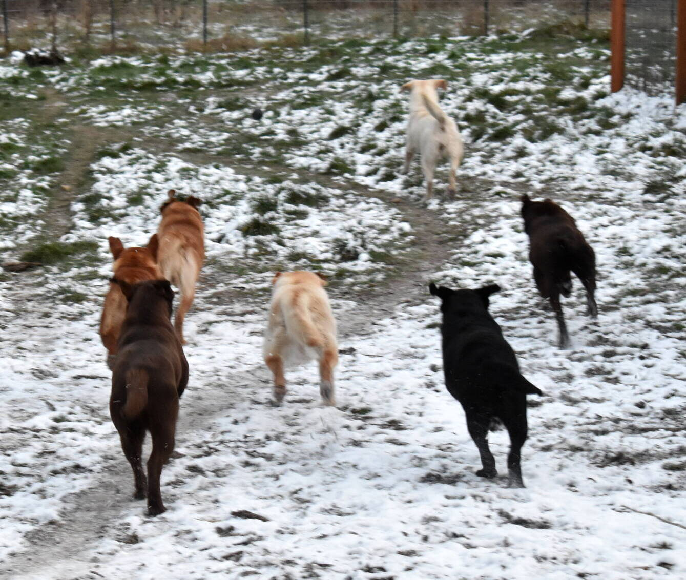 January 2020-Labs in the snow47.JPG