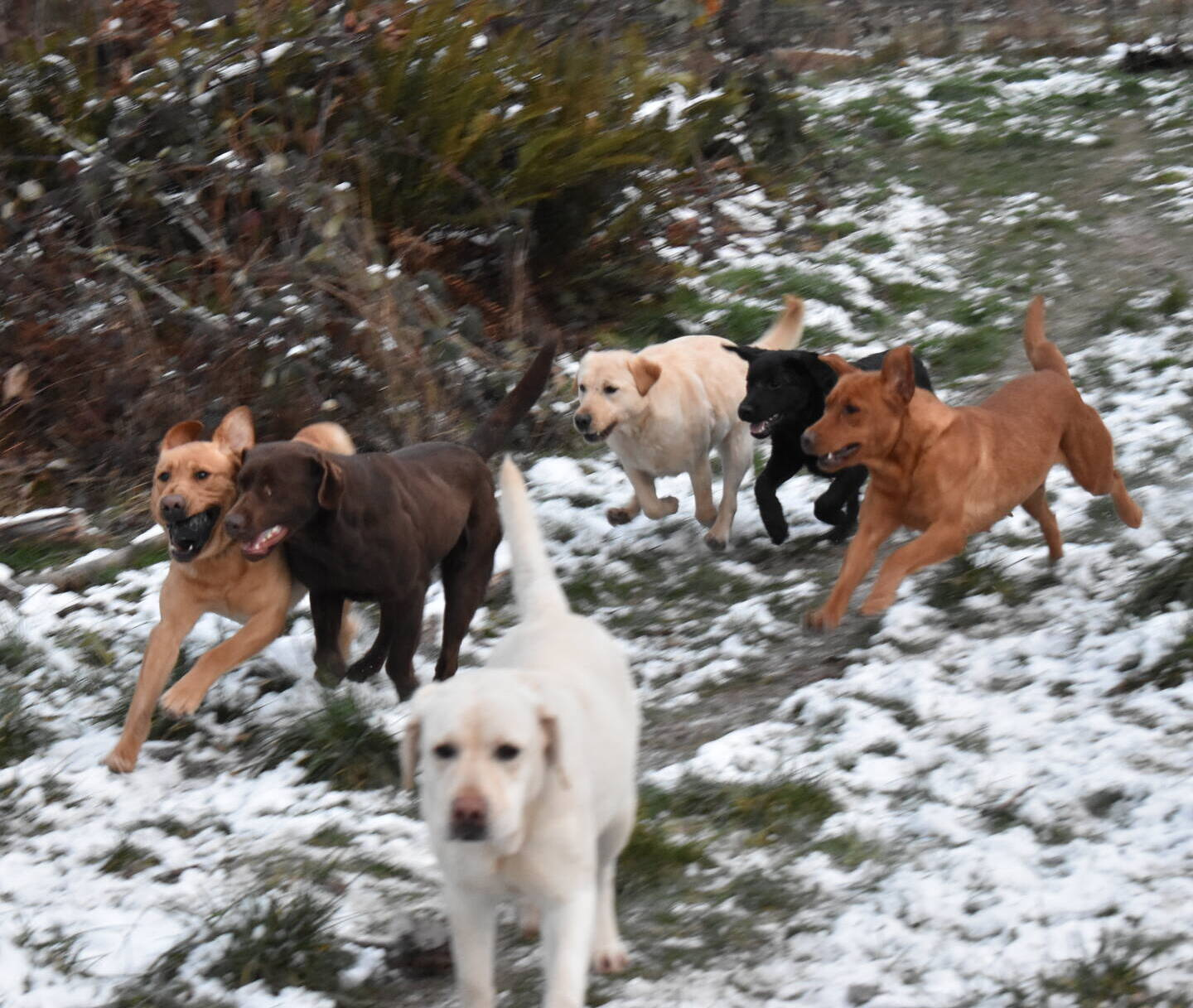 January 2020-Labs in the snow51.JPG