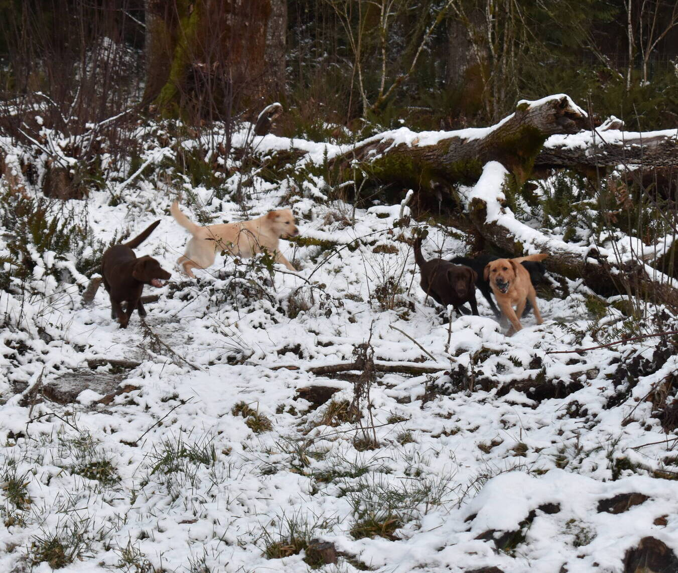 January 2020-Labs in the snow58.JPG